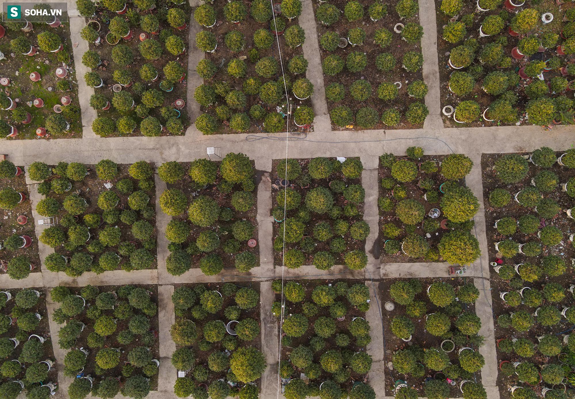 [Ảnh] Hàng nghìn cây mai nở sớm trước Tết cả tháng, chủ vườn mất trắng 15 tỷ đồng - Ảnh 11.