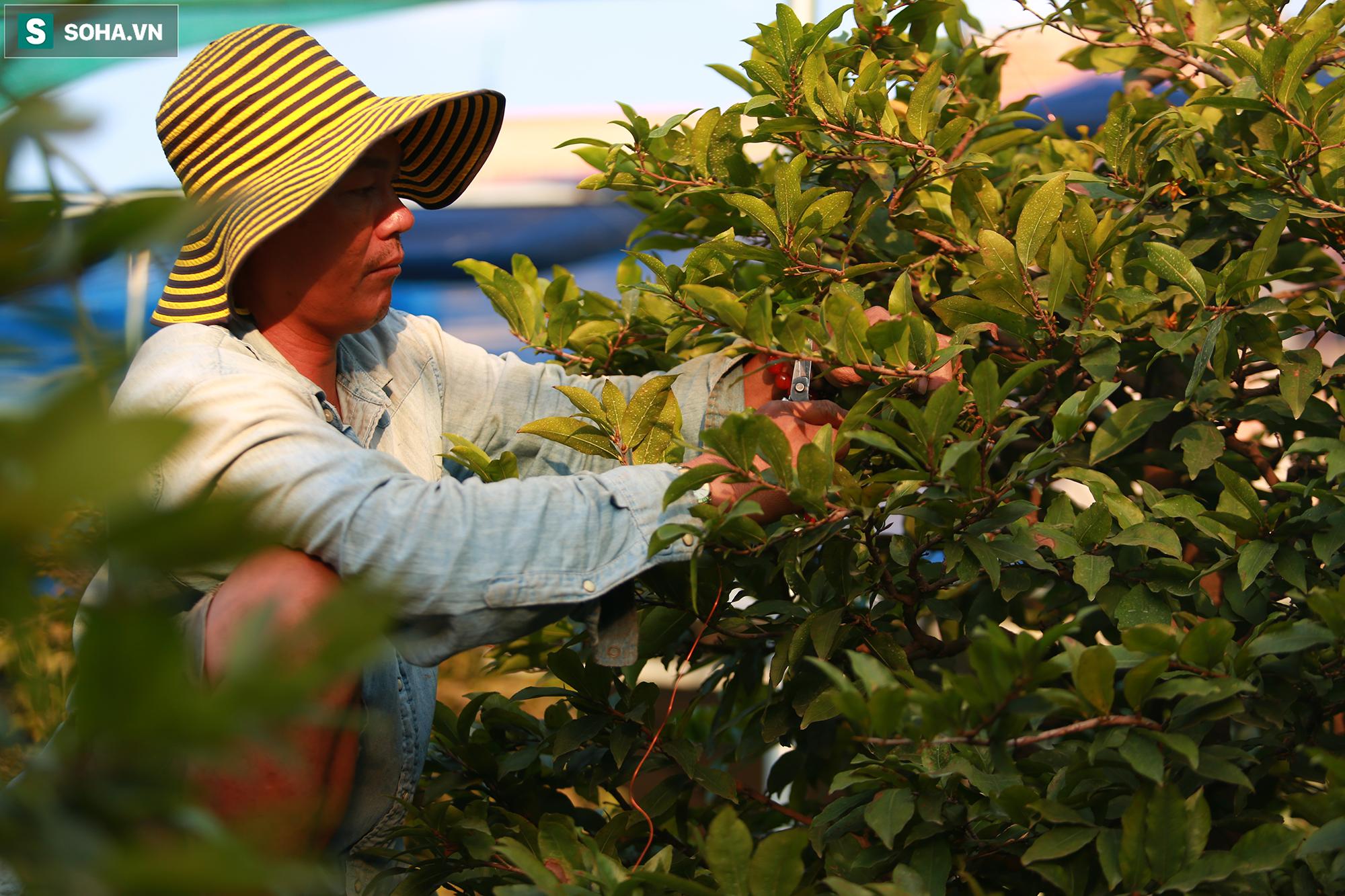 [Ảnh] Hàng nghìn cây mai nở sớm trước Tết cả tháng, chủ vườn mất trắng 15 tỷ đồng - Ảnh 13.