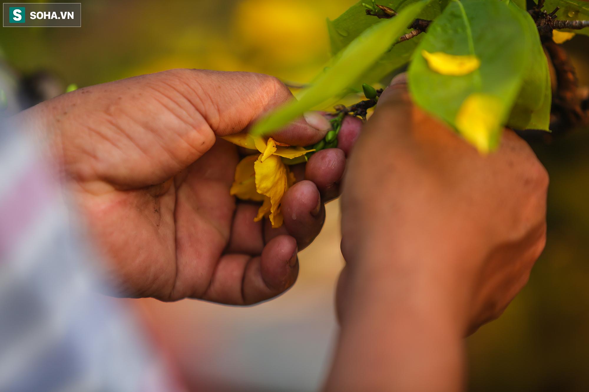 [Ảnh] Hàng nghìn cây mai nở sớm trước Tết cả tháng, chủ vườn mất trắng 15 tỷ đồng - Ảnh 6.