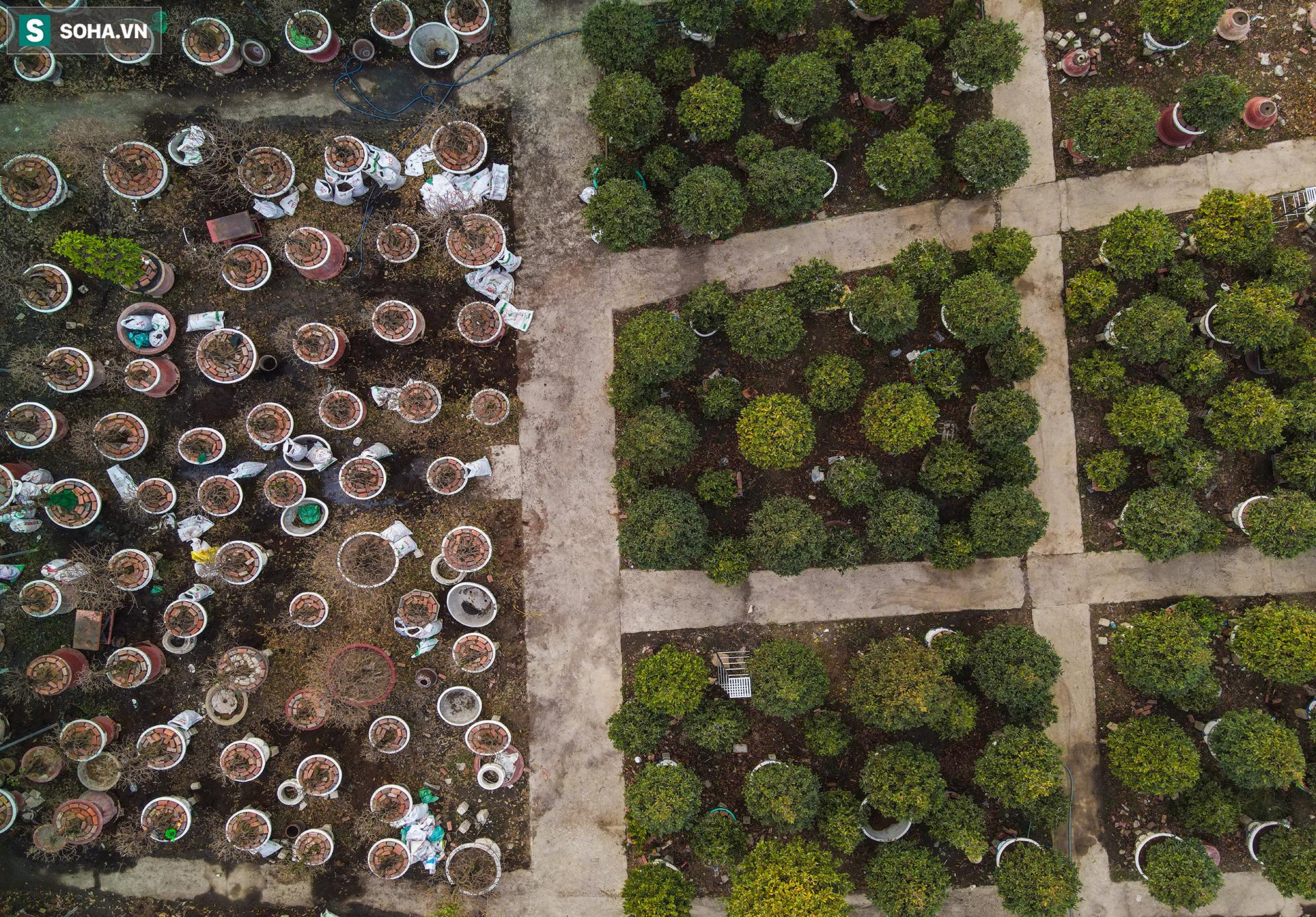 [Ảnh] Hàng nghìn cây mai nở sớm trước Tết cả tháng, chủ vườn mất trắng 15 tỷ đồng - Ảnh 7.