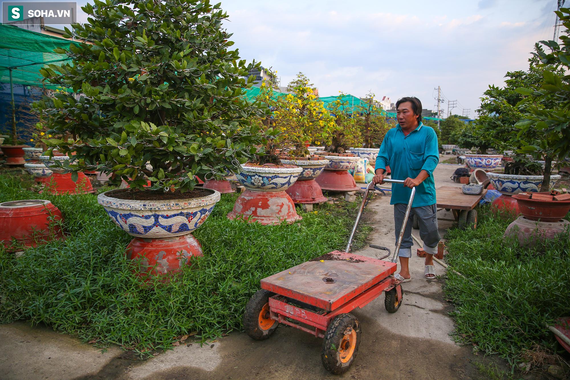 [Ảnh] Hàng nghìn cây mai nở sớm trước Tết cả tháng, chủ vườn mất trắng 15 tỷ đồng - Ảnh 8.