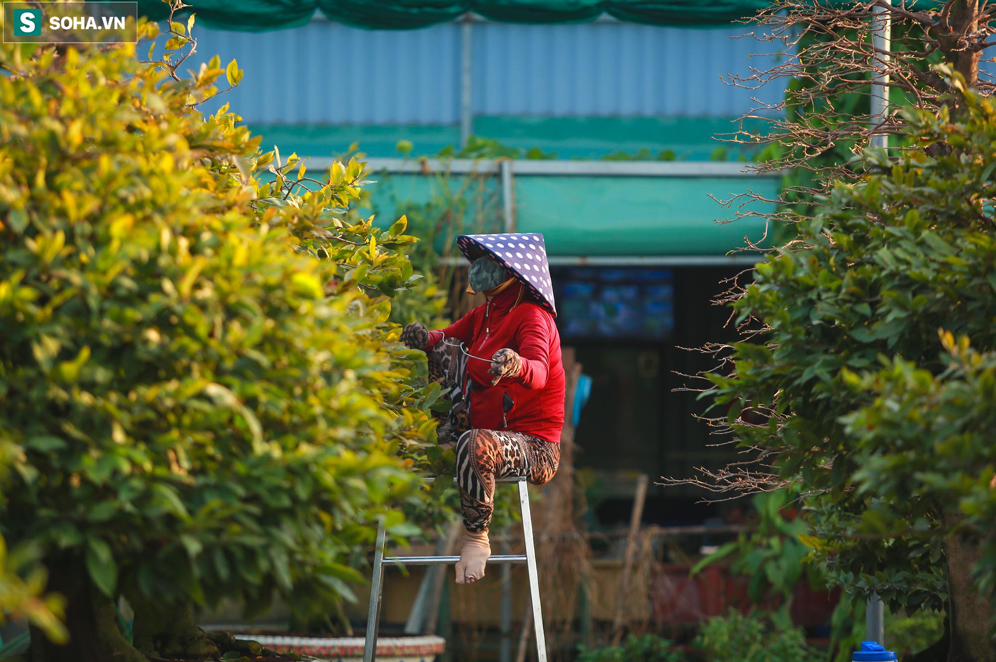 [Ảnh] Hàng nghìn cây mai nở sớm trước Tết cả tháng, chủ vườn mất trắng 15 tỷ đồng - Ảnh 14.