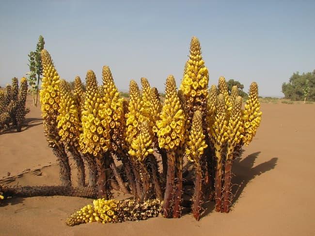 Cây dại được mệnh danh là nhân sâm sa mạc: Bổ thận, tráng dương, giải độc, trẻ hóa - Ảnh 3.