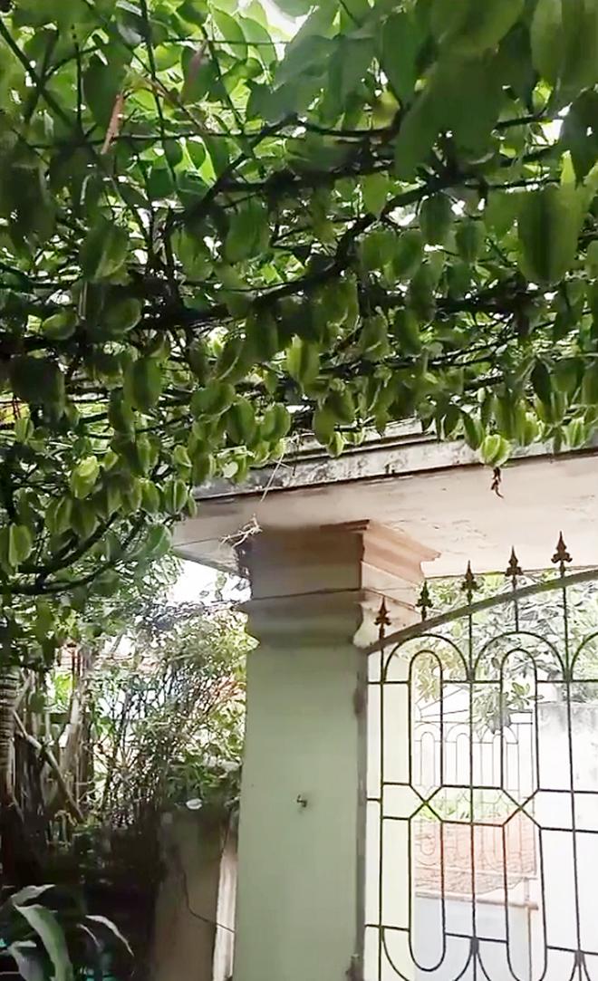 Cây khế có gốc vừa bé vừa còi nhưng lại mọc ra giàn khế sai trĩu, cả nghìn quả phủ kín sân nhà - ảnh 2