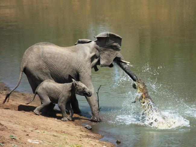 Đến mép hồ nước thì đột ngột bị cá sấu cắn vào vòi, voi mẹ cố bỏ chạy nhưng phải nhờ hành động ngây thơ của voi con đã cứu mạng 2 mẹ con - Ảnh 1.