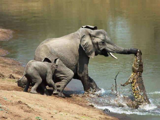 Đến mép hồ nước thì đột ngột bị cá sấu cắn vào vòi, voi mẹ cố bỏ chạy nhưng phải nhờ hành động ngây thơ của voi con đã cứu mạng 2 mẹ con - Ảnh 2.
