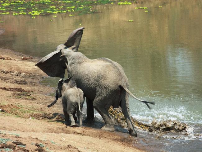 Đến mép hồ nước thì đột ngột bị cá sấu cắn vào vòi, voi mẹ cố bỏ chạy nhưng phải nhờ hành động ngây thơ của voi con đã cứu mạng 2 mẹ con - Ảnh 4.