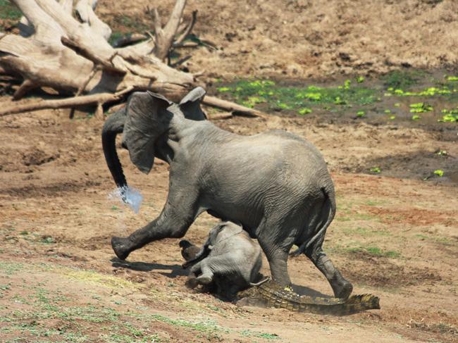 Đến mép hồ nước thì đột ngột bị cá sấu cắn vào vòi, voi mẹ cố bỏ chạy nhưng phải nhờ hành động ngây thơ của voi con đã cứu mạng 2 mẹ con - Ảnh 5.