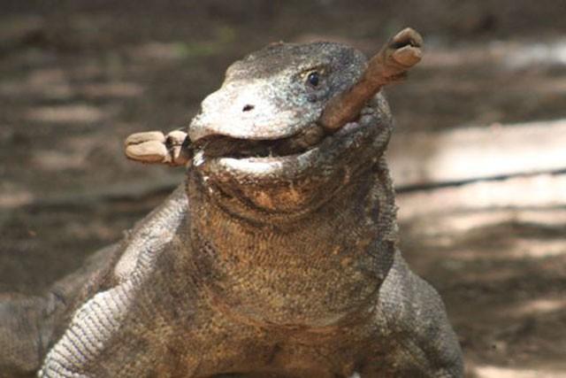 Top 10 sự thật đáng ngạc nhiên về rồng Komodo - Ảnh 3.