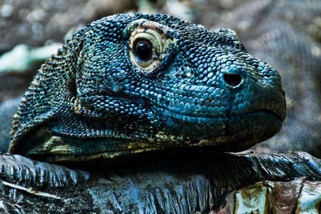 Top 10 sự thật đáng ngạc nhiên về rồng Komodo - Ảnh 4.