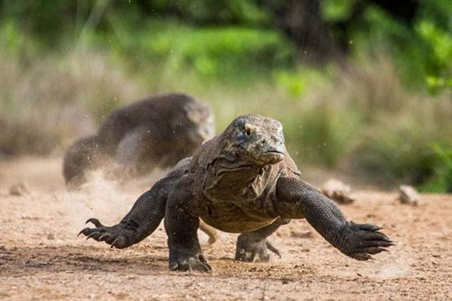 Top 10 sự thật đáng ngạc nhiên về rồng Komodo - Ảnh 8.