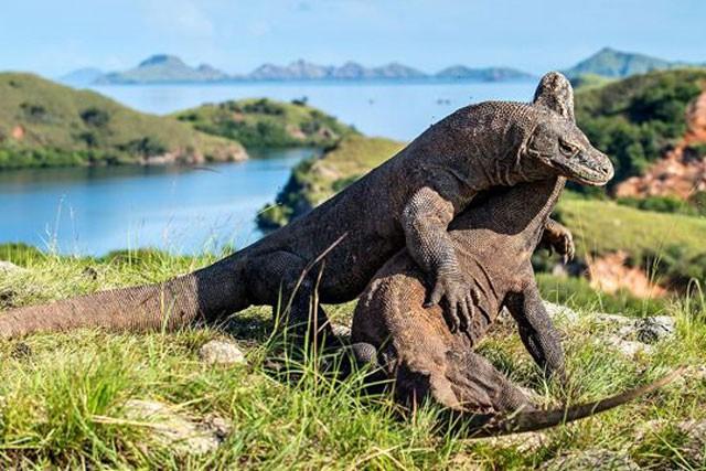 Top 10 sự thật đáng ngạc nhiên về rồng Komodo - Ảnh 10.