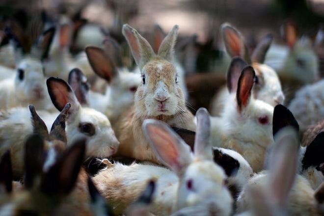 Thỏ ăn thịt đã là khó tin rồi, bạn có biết thỏ còn ăn lại phân của chính mình? - Ảnh 5.