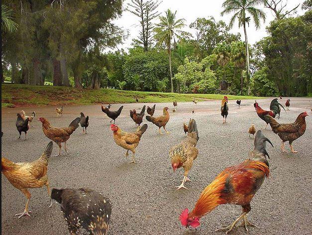 Thiên đường du lịch Hawaii biến thành nhà của gà hoang - Ảnh 1.