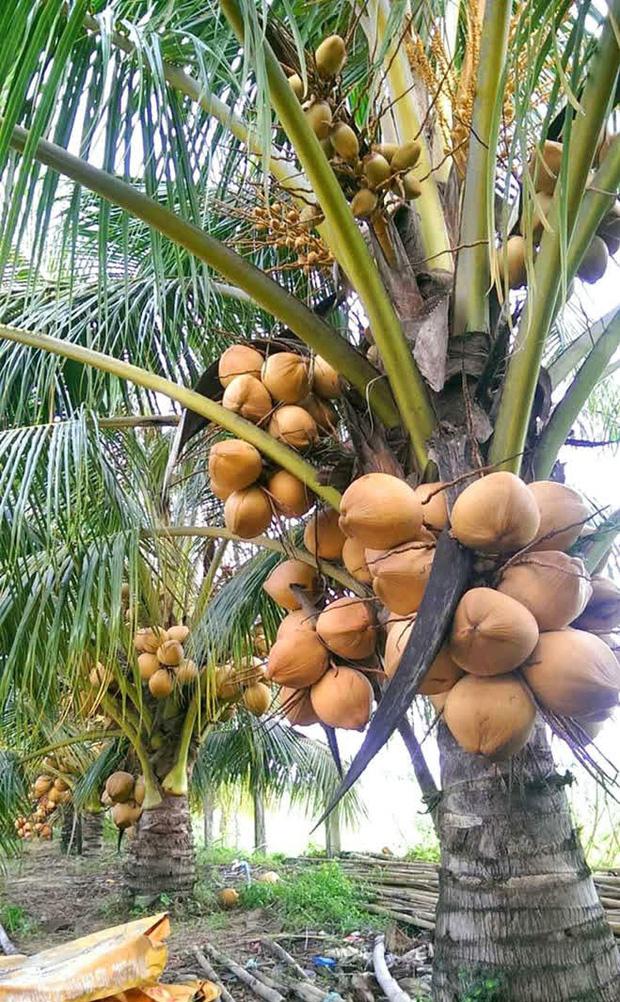Cây dừa đang cho trái bỗng dưng bị đốt trụi, dân mạng ập vào chỉ trích mà đâu biết đây là chiêu trò của nông dân? - ảnh 3