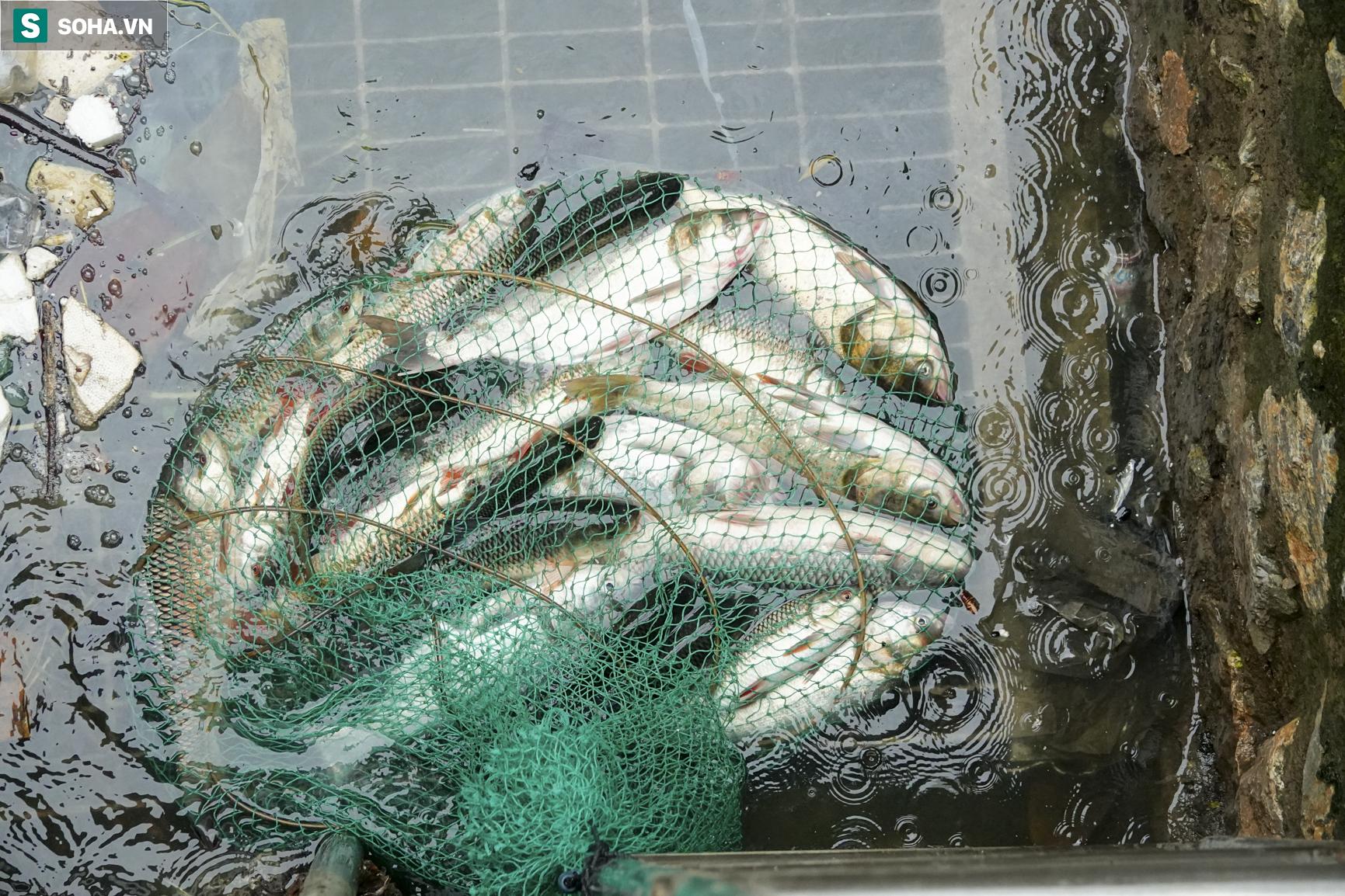 Nước sông Tô Lịch bỗng chuyển màu xanh ngắt hiếm thấy, người dân hân hoan bắt hàng tạ cá - Ảnh 8.