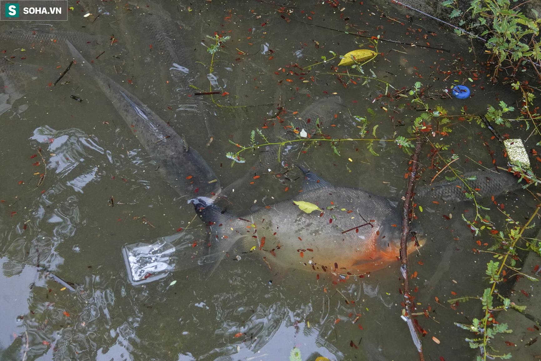Nước sông Tô Lịch bỗng chuyển màu xanh ngắt hiếm thấy, người dân hân hoan bắt hàng tạ cá - Ảnh 5.