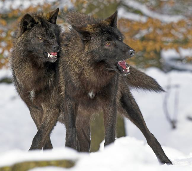 Con vật to lớn tấn công chó cưng, chủ nhân quay được đoạn clip vẫn không dám chắc đó là con gì - Ảnh 4.