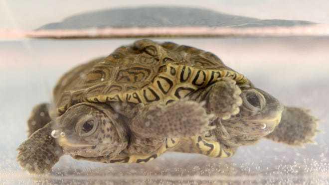 Phát hiện rùa kim cương hai đầu hiếm gặp tại Mỹ - Ảnh 1.
