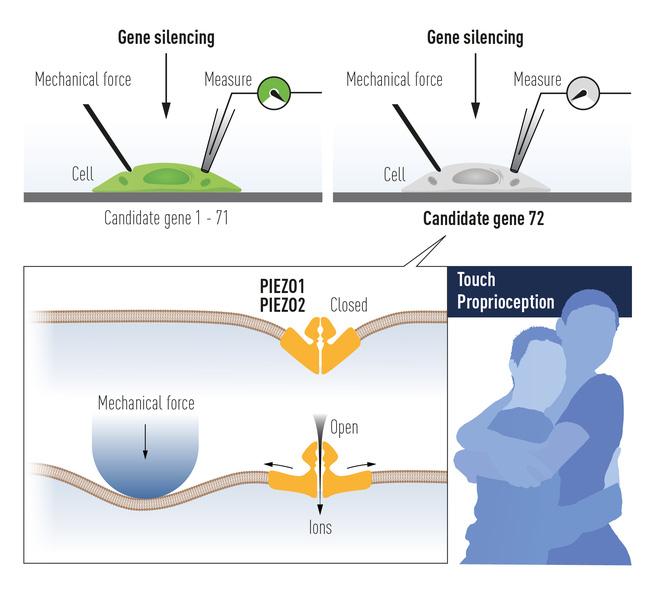 Chi tiết về Giải Nobel Y học 2021 vừa được trao: Hai nhà khoa học tìm ra các thụ thể giúp con người cảm nhận nhiệt độ và xúc giác - Ảnh 4.