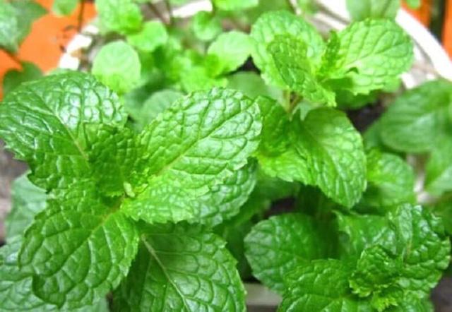 8 loài cây trồng trong nhà vừa đẹp vừa thơm, giúp đuổi muỗi hiệu quả mà không cần hóa chất - Ảnh 1.