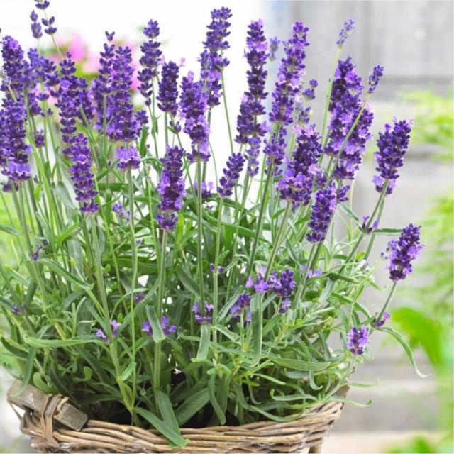 8 loài cây trồng trong nhà vừa đẹp vừa thơm, giúp đuổi muỗi hiệu quả mà không cần hóa chất - Ảnh 7.