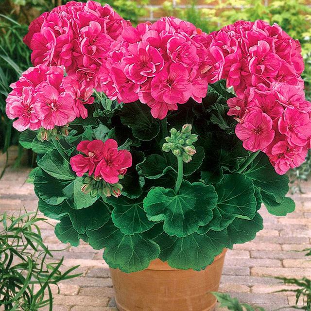 8 loài cây trồng trong nhà vừa đẹp vừa thơm, giúp đuổi muỗi hiệu quả mà không cần hóa chất - Ảnh 9.