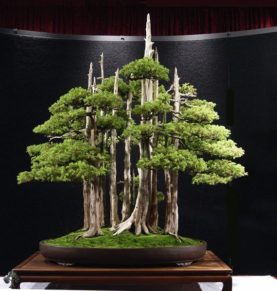 Top 10 cây Bonsai đẹp nhất thế giới - Ảnh 2.