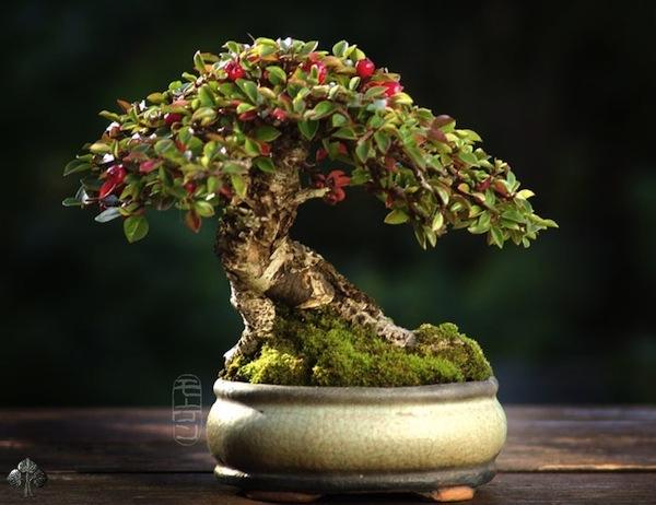 Top 10 cây Bonsai đẹp nhất thế giới - Ảnh 3.