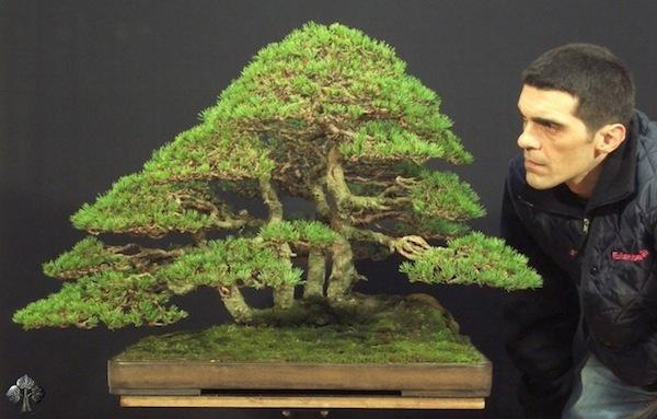 Top 10 cây Bonsai đẹp nhất thế giới - Ảnh 4.