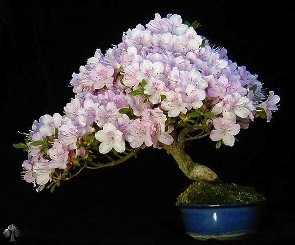 Top 10 cây Bonsai đẹp nhất thế giới - Ảnh 6.
