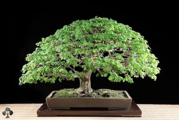 Top 10 cây Bonsai đẹp nhất thế giới - Ảnh 7.
