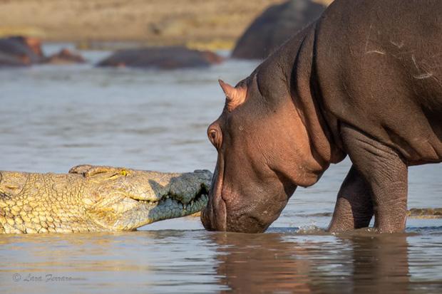 Sở hữu hàm răng sắc nhọn và nổi tiếng hung tợn, vì sao cá sấu lại sợ hà mã hiền như 'cục bột', đụng độ còn không toàn mạng trở về? - ảnh 1