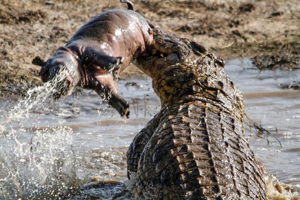 Sở hữu hàm răng sắc nhọn và nổi tiếng hung tợn, vì sao cá sấu lại sợ hà mã hiền như 'cục bột', đụng độ còn không toàn mạng trở về? - ảnh 2
