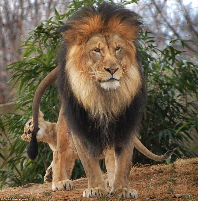 Bức ảnh chứng minh câu nói Nhà là phải có nóc của gia đình sư tử khiến dân mạng được phen cười nghiêng ngả còn chị em tâm đắc lắm! - Ảnh 1.