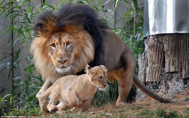 Bức ảnh chứng minh câu nói Nhà là phải có nóc của gia đình sư tử khiến dân mạng được phen cười nghiêng ngả còn chị em tâm đắc lắm! - Ảnh 2.