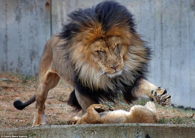 Bức ảnh chứng minh câu nói Nhà là phải có nóc của gia đình sư tử khiến dân mạng được phen cười nghiêng ngả còn chị em tâm đắc lắm! - Ảnh 3.