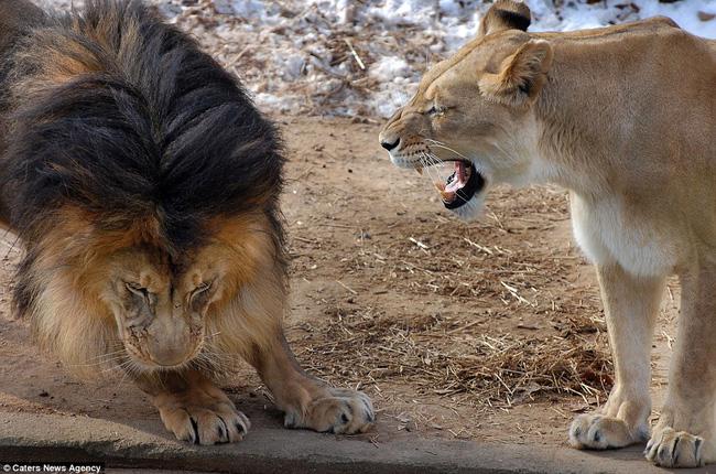 Bức ảnh chứng minh câu nói Nhà là phải có nóc của gia đình sư tử khiến dân mạng được phen cười nghiêng ngả còn chị em tâm đắc lắm! - Ảnh 4.