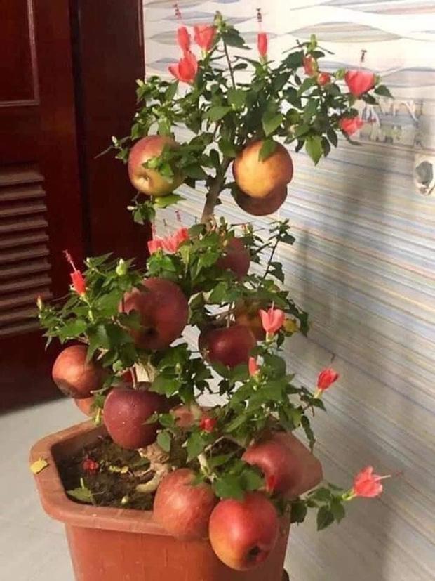Gia đình bỏ hơn 1 triệu mua cây táo chơi Tết, 3 ngày sau cây nở ra… hoa dâm bụt - ảnh 1