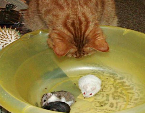 Thừa biết mèo là kẻ thù truyền kiếp của chuột nhưng vẫn mua 3 con chuột cảnh về nhà, cảnh tượng xuất hiện sau đó khiến chủ nhân kinh ngạc - Ảnh 2.