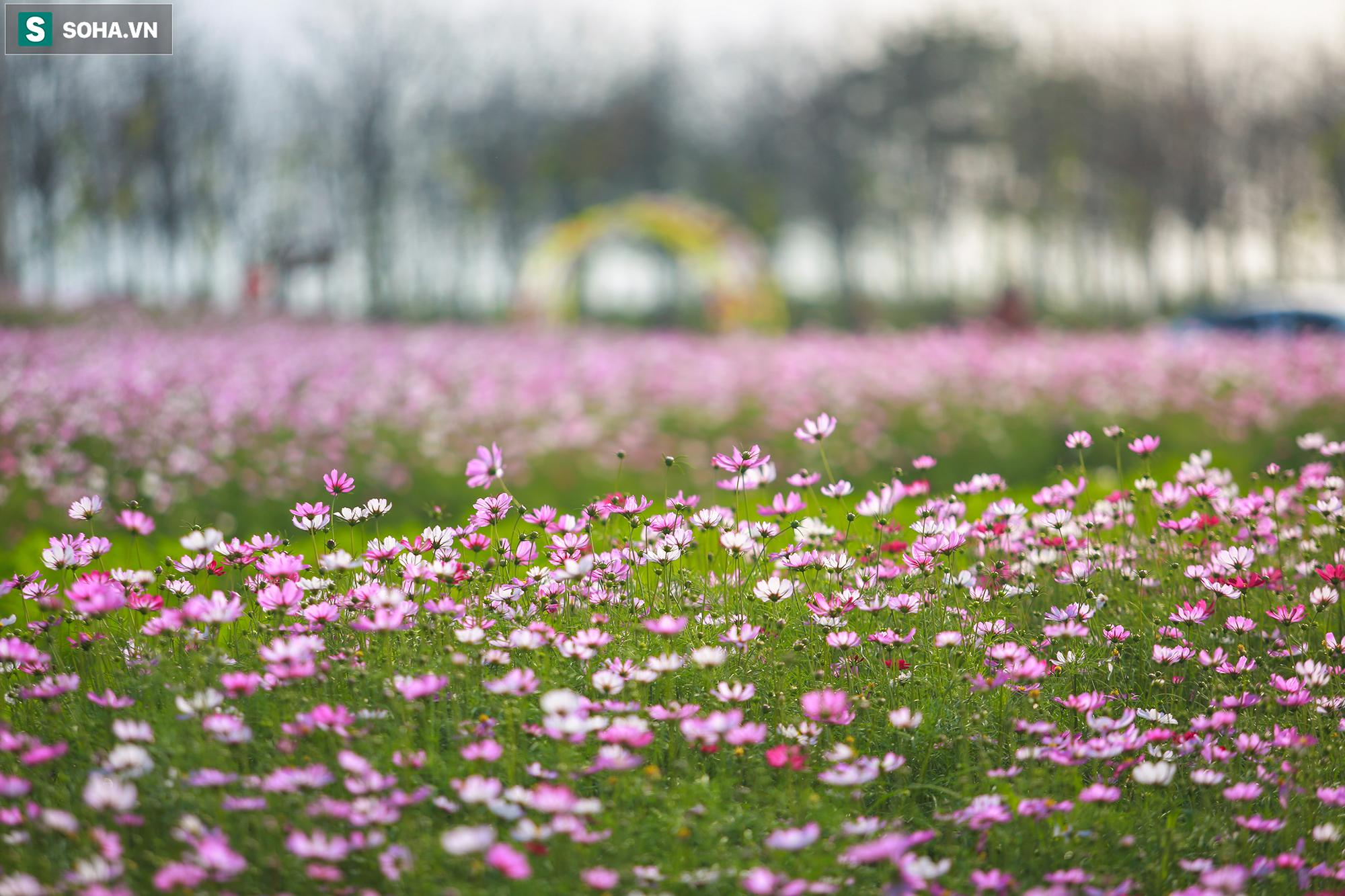 Mê mẩn cánh đồng hoa sao nhái đầy màu sắc được giới trẻ săn tìm để check-in ở Quảng Bình - Ảnh 4.