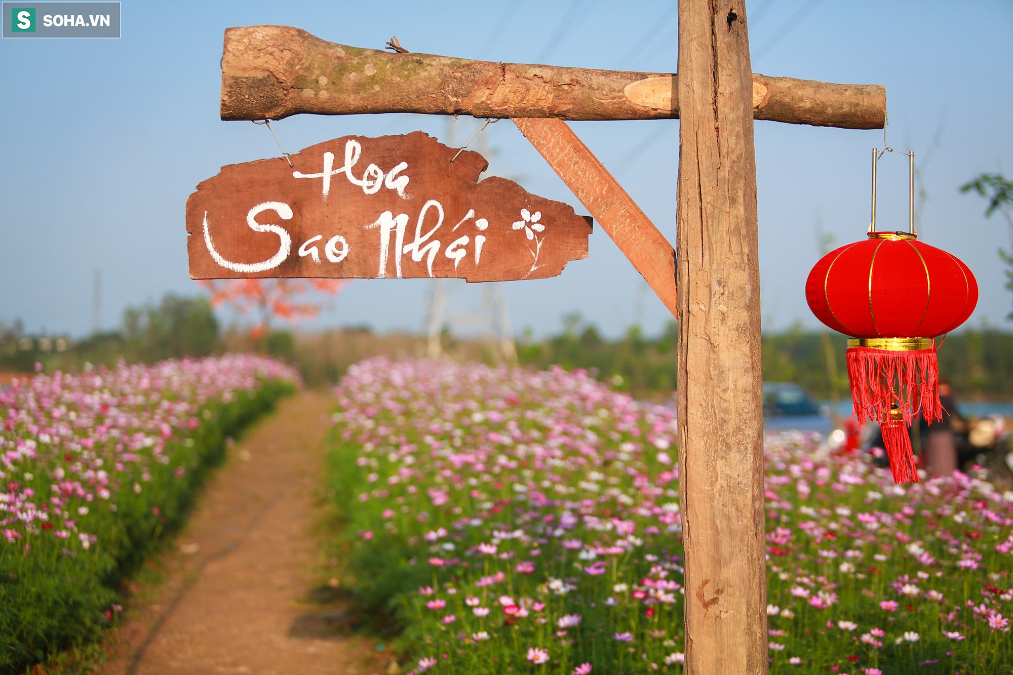 Mê mẩn cánh đồng hoa sao nhái đầy màu sắc được giới trẻ săn tìm để check-in ở Quảng Bình - Ảnh 3.