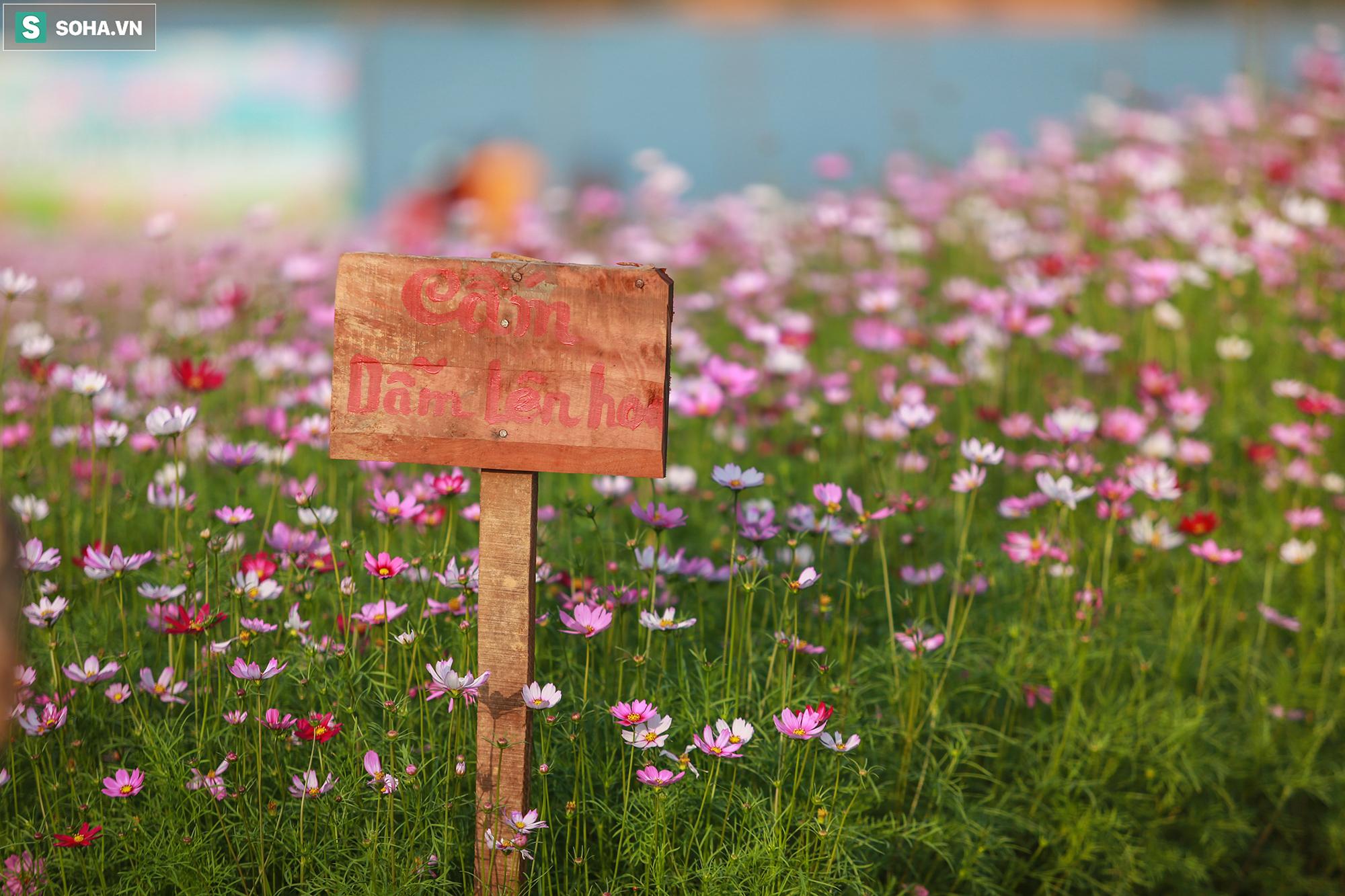 Mê mẩn cánh đồng hoa sao nhái đầy màu sắc được giới trẻ săn tìm để check-in ở Quảng Bình - Ảnh 7.