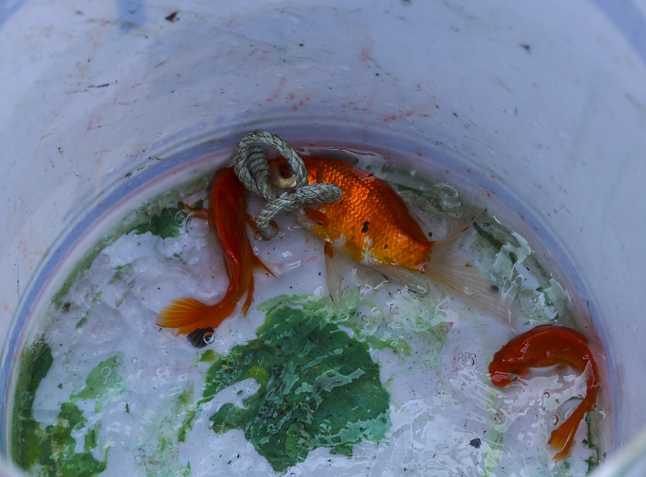 Người phụ nữ thả 3 con cá chép nặng gần 3kg xuống Hồ Tây tiễn ông Công, ông Táo về trời sớm - Ảnh 10.