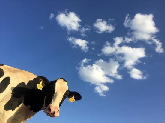 Trường đại học Mỹ nghiên cứu sử dụng phân bò để sưởi ấm: hệ thống có thể tạo ra 909 triệu lít khí tự nhiên tái tạo mỗi năm - Ảnh 1.
