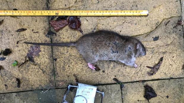 Thủ đô Anh Quốc đột nhiên thành vương quốc chuột, chuột to khổng lồ và nhiều gấp đôi con người: Tại sao có chuyện đó? - Ảnh 5.
