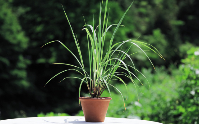 7 loại cây gia vị bạn nên trồng để vừa ăn ngon vừa đuổi gián, muỗi cực hiệu quả - Ảnh 1.