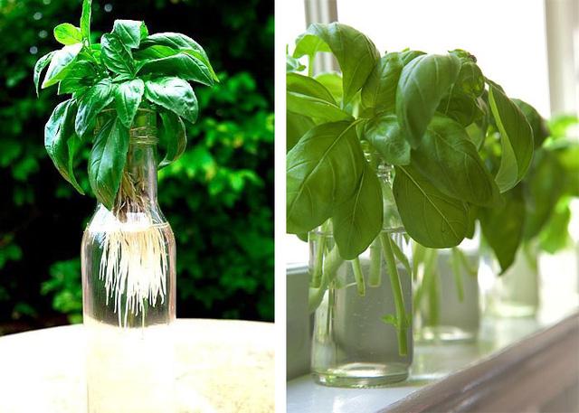 7 loại cây gia vị bạn nên trồng để vừa ăn ngon vừa đuổi gián, muỗi cực hiệu quả - Ảnh 3.