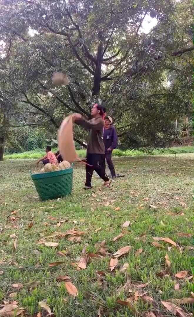 Sốc trước cảnh người Thái Lan thu hoạch sầu riêng từ cây cao, dân mạng xem clip ai cũng toát mồ hôi hột vì sợ - Ảnh 4.