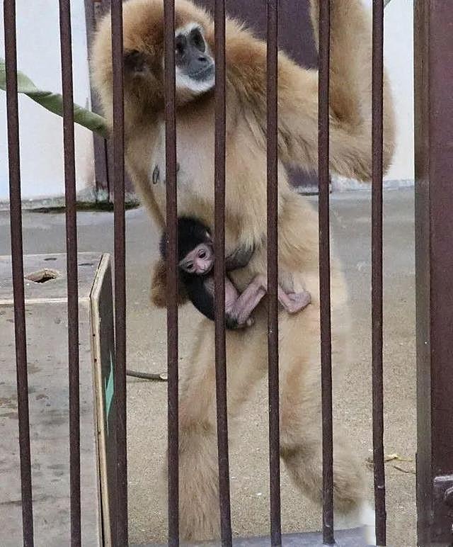 Vượn cái ở 1 mình cả năm lại bất ngờ sinh con, nhân viên vườn thú giật mình khi biết sự thật - Ảnh 2.